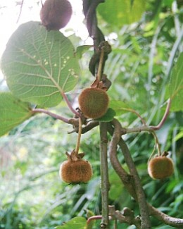 Home-grown Kiwi Fruit