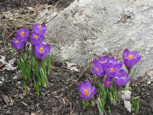Crocuses in front of the azalea bush