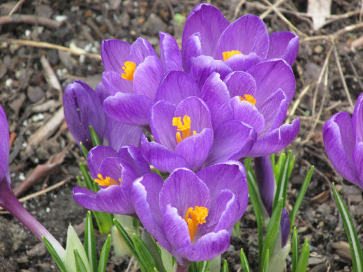 More crocuses.