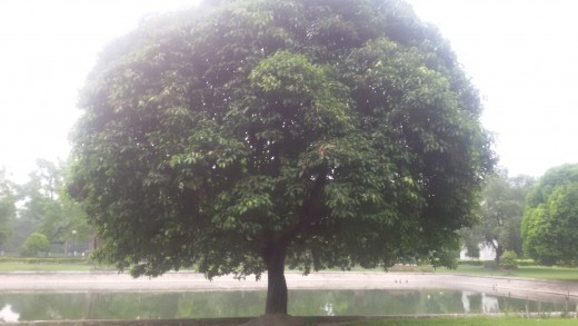 Trees so well maintained in the Garden of Victoria Memorial - Kolkatta