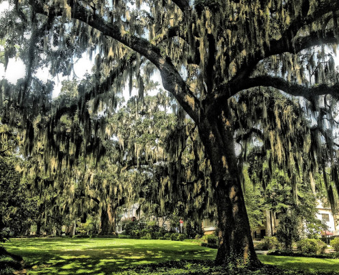 Live oaks in downtown Tallahassee on East Park Avenue.