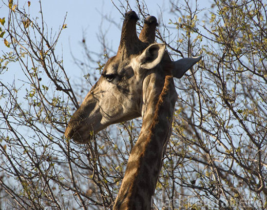 Giraffes use their long tongues to pull leaves and twigs into their mouths. Photo: Matt Feierabend.