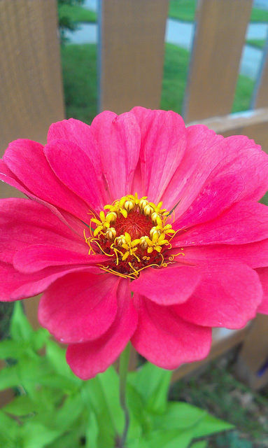 Zinnia-Profusion Double Cherry