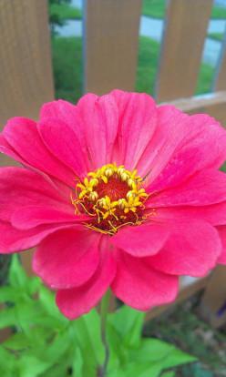 Plant Spotlight: Zinnia