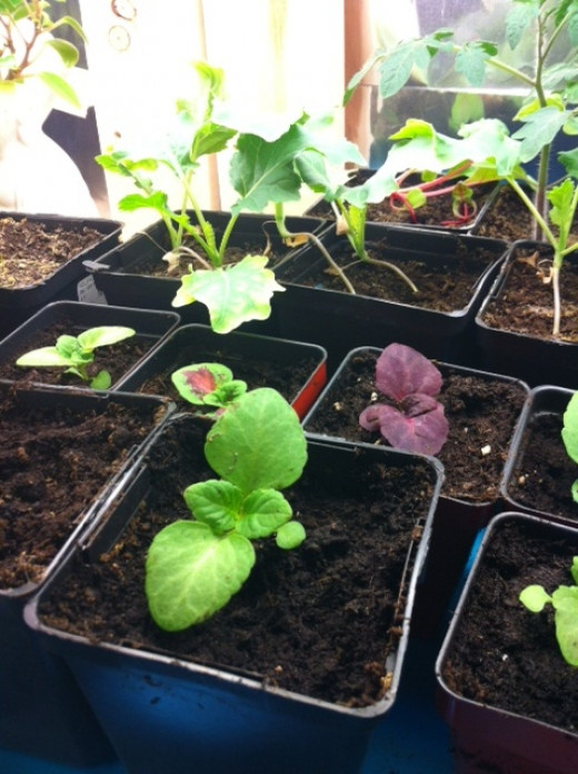 Coleus is very easy to germinate.... just don't burry the seeds!