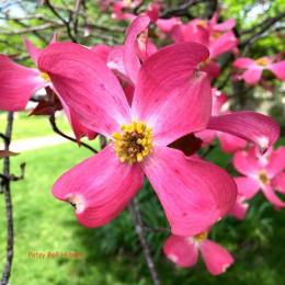 Dogwood (Cornus florida 'Cherokee Chief')