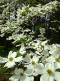 Flowering dogwood a 4 season landscape favorite