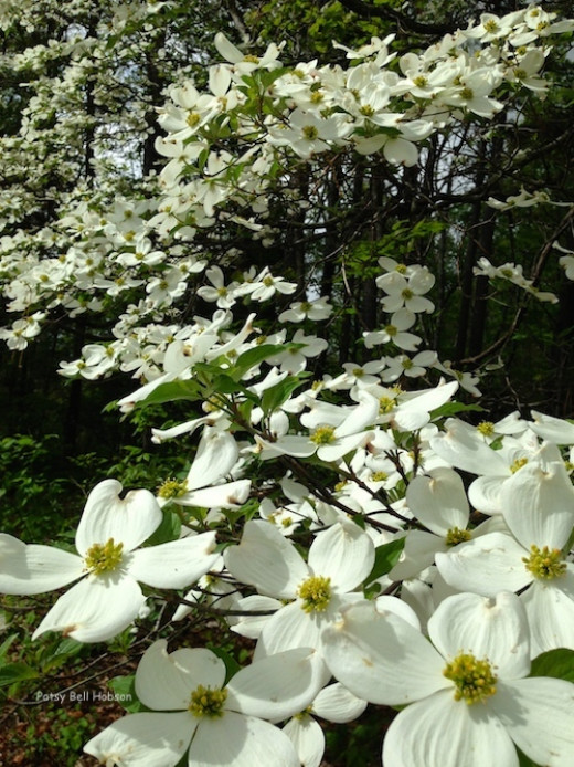 Dogwood tree blossoms are actually leaves, called bracts that open in white.