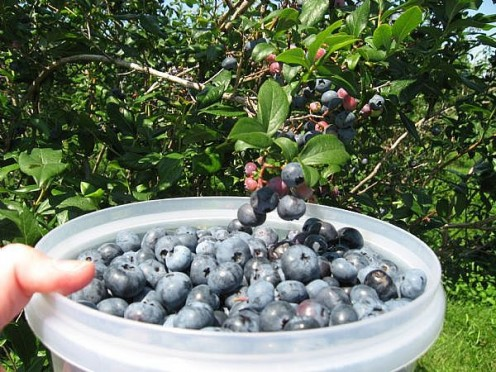 We pick blueberries at Blueberry Hill near Sanford, Maine.