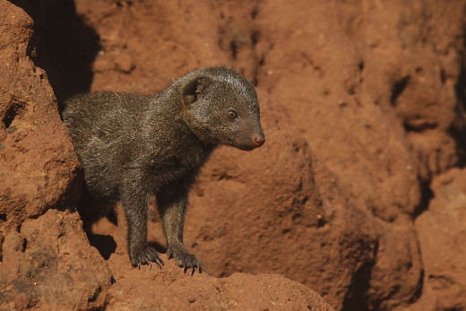 Dwarf mongooses enjoy living in rocky habitats in warm climates. Photo: Michal Rosa (Wiki Creative Commons)
