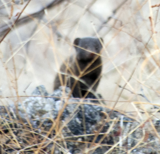 n inquisitive dwarf mongoose checks out the tourists while ensuring he or she remains protected behind vegetation. Photo: Di Robinson