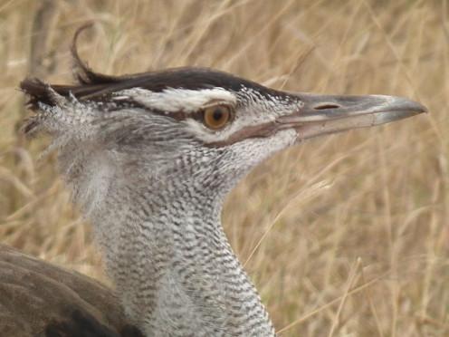 Kori bustards are flamboyant birds and have elaborate courtship displays. Photo: Nivet Dilmen (Wiki Creative Commons)