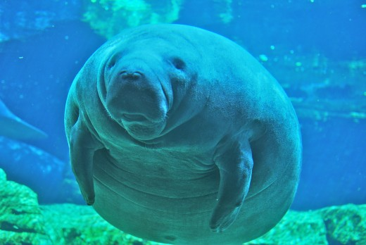 Related to elephants, manatees are fascinating aquatic animals that are wonderful to watch and learn about.  Florida manatees are endangered and increasingly difficult to see in the wild.