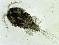 Cyclops copepod.  Intermediate host.  Image by Google Images.