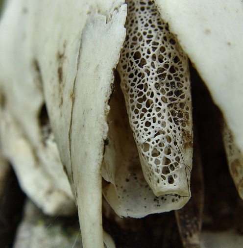 The inside of a sheep skull's nose