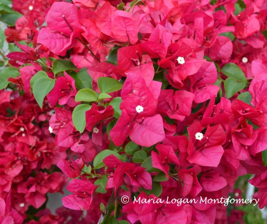 My bougainvillea this spring, before pruning to install the new trellis.