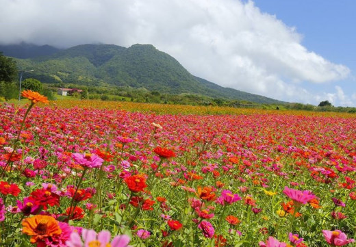 Colorful display of zinnias with the mountains in the background
