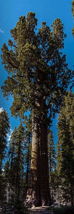 General Sherman sequoia tree