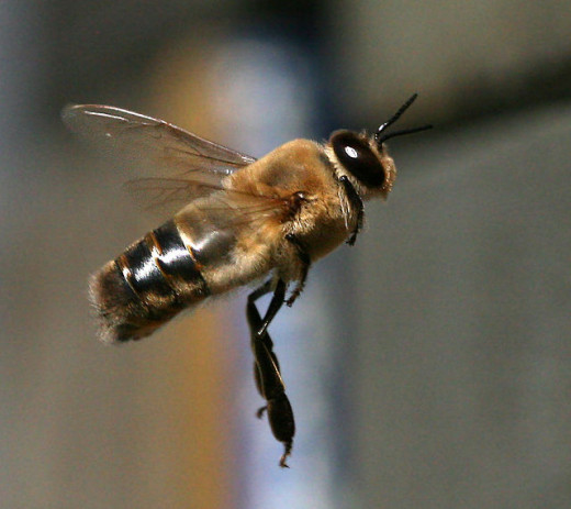 A drone bee in flight. Compare it to the machine in the next photo.
