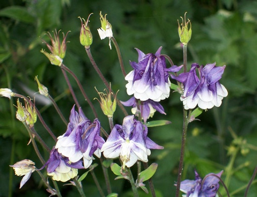 Aquilegia or columbine comes in all sizes and colours and readily seeds across the garden
