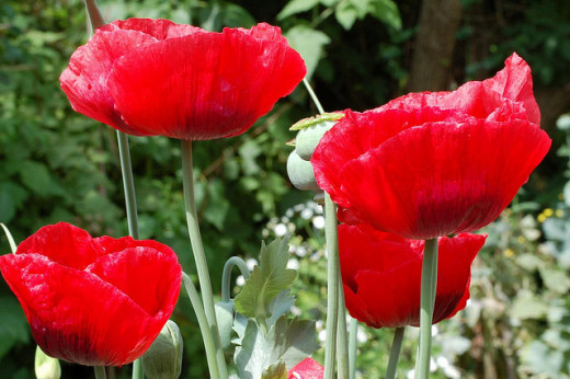 Poppies add spashes of exotic colour throughout the summer months