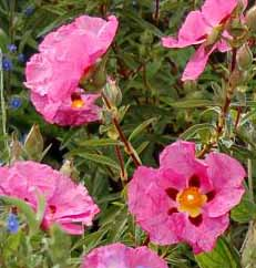 Cistus is a disease-resistant hardy shrub which blooms abundantly during the sunny months