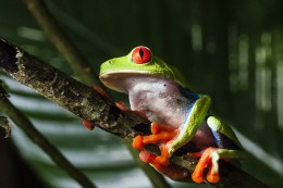 Look at this awesome tree frog! The tree frog totem has so much to teach us.