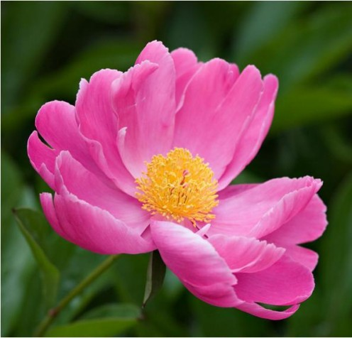 Plant Peonies For Beauty