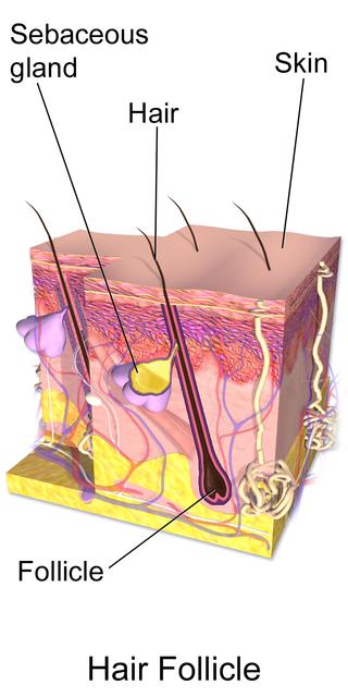 Healthy Hair follicle