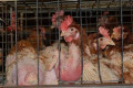 Barren Battery Cage Chickens - This method now illegal in Europe but ignored by the majority of countries.