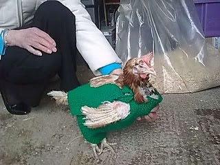 Wooly jacket for ex battery hen