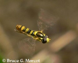 HELPFUL Insects - Good Garden Bugs