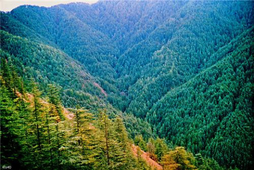 Pine forest in Shimla