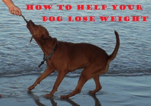 How to help your dog lose weight.