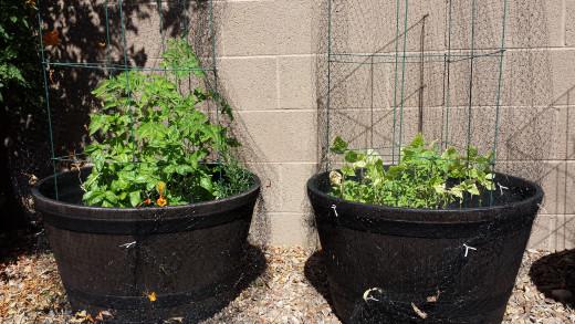 Growing plants in pots in Phoenix, AZ