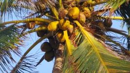 Coconut Palm Tree in Barbados