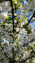 Plant Spotlight: Spring Flowering Trees