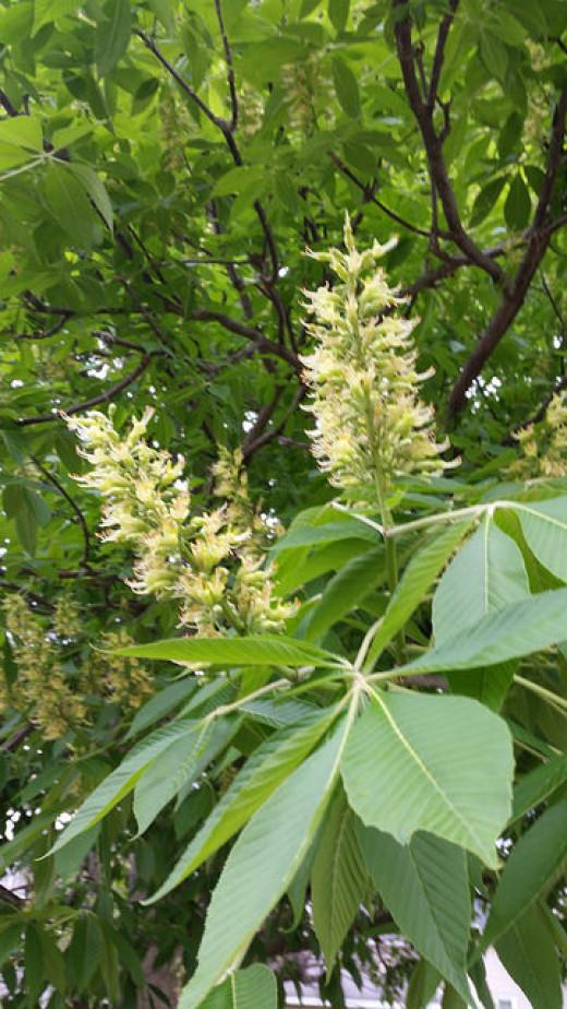 Horse Chestnut Blossoms