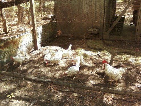 These 4 photos are of the same 10 chickens as they got older.