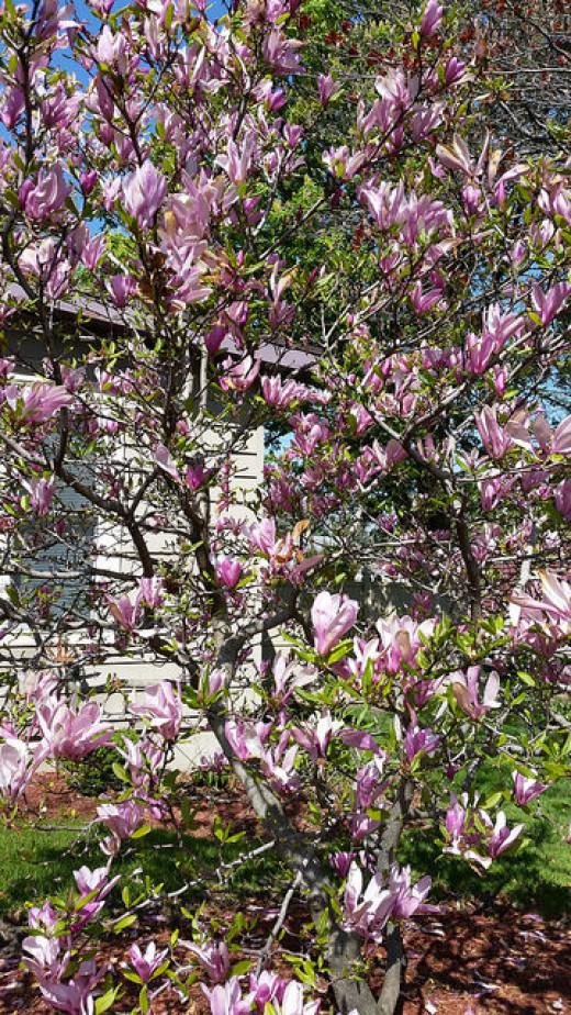 Magnolia Verbanica in more of a shrub form