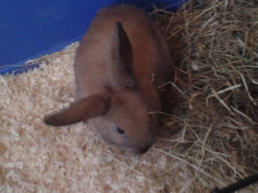 This is Bramble when he was just six weeks old on the day we adopted him. Notice how his ear doesn't lop all the way? It still doesn't - in bunny terms Bramble has what's known as 'helicopter ears'