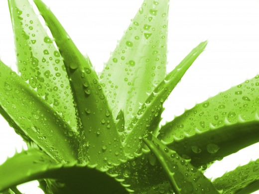 Aloe vera applied to the face gives healthier and smoother skin!