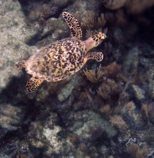 Underwater Turtle