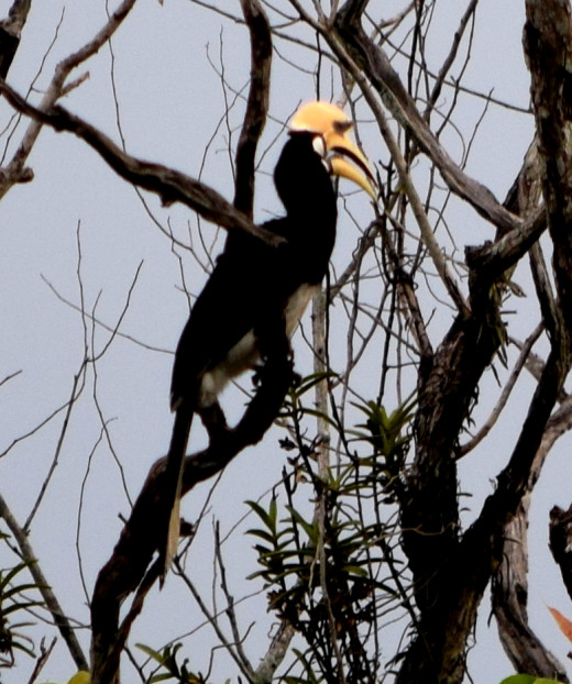 An Oriental Pied Hornbill on a tree at Hollong