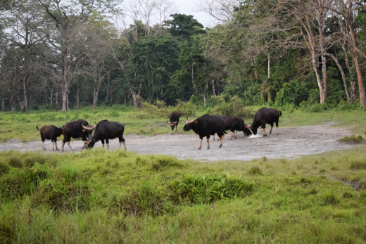 A herd of Indian Bison (Gaur) at the salt Pit; Hollong