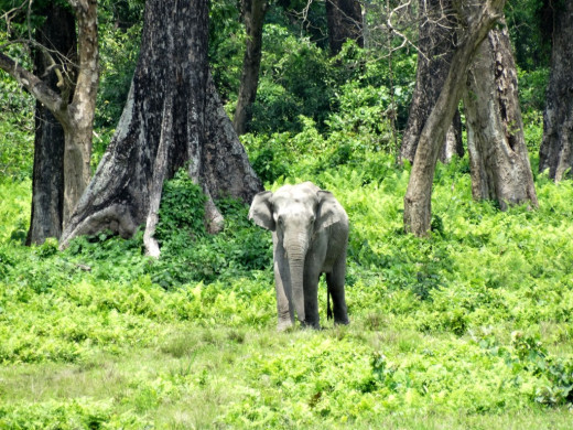 A wild elephant emerging from the forest; Hollong