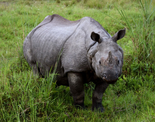 The One Horned Rhino; Hollong