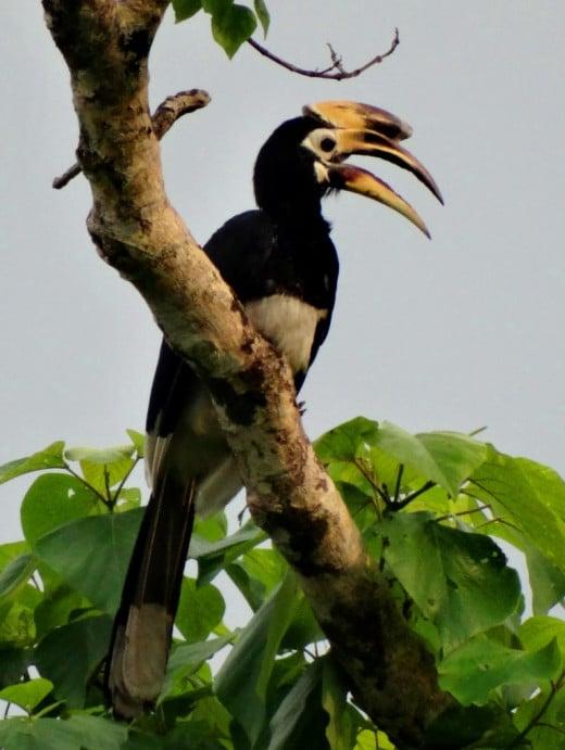 Oriental Pied Hornbill; Hollong