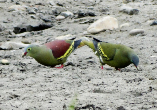 Pompadour Green Pigeon (Male & Female); Hollong