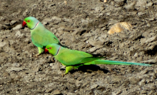 Rose ringed parakeet; Hollong